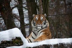 IMG_9951-2009.jpg (Linnea S.) Tags: winter snow animals zoo tiger lumi 2009 siberiantiger animalia korkeasaari pantheratigrisaltaica panthera pantheratigris elintarha tiikeri amurintiikeri siperiantiikeri