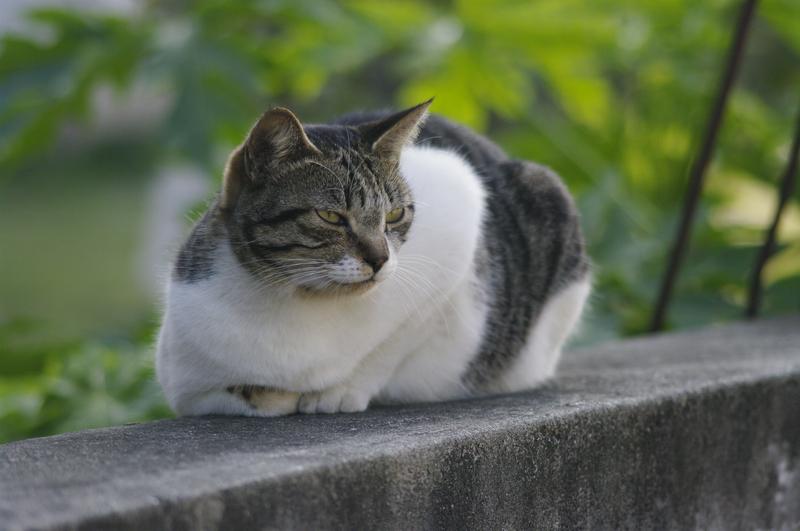 鄰家飼養的貓 M135/f3.5