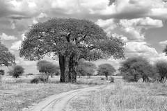 Baobab in Tarangire (virtualwayfarer) Tags: tarangirenationalpark tarangire nationalpark wildlife animals wild safari adventuresafari photosafari canon dslr decembersafari tanzania africa tanzanian blackandwhite blackandwhitephotography subsahara subsaharanafrica eastafricariftvalley riftvalley baobab baobabtree tree oldtree ancienttree road driving path dirtroad natgeoinpsired nationalgeographicinspired alexberger safariphotos adventuretravel solotravel travelinspiration photographyinspiration