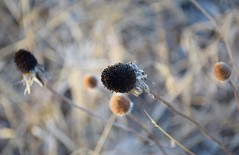 Dreaming of summer (marensr) Tags: west ridge nature preserve chicago february flowers dried seed pods bokeh macro foliage monochrome