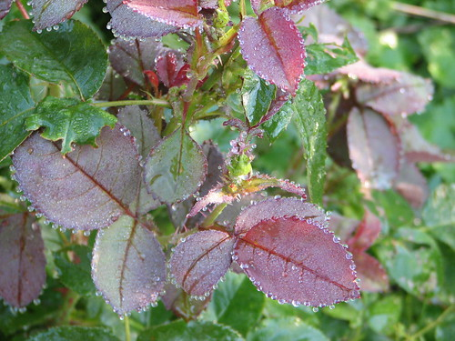 dew on rose leaves