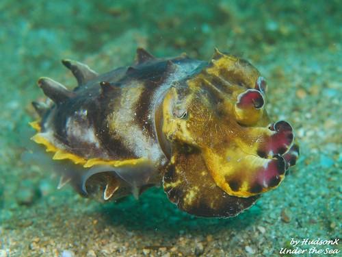 火焰花枝 - Flamboyant Cuttlefish3)