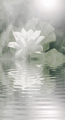 White Lotus Flower Reflections - Animated Gif - IMG_3745-large-2 (Bahman Farzad) Tags: sun flower macro reflection reflections lotus earlymorning animated gif lotusflower lotusflowers lotuspetal lotuspetals lotusflowerpetals lotusflowerpetal