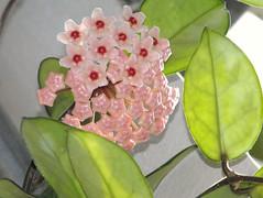 (jjs08) Tags: summer plant flower macro closeup digital real photography zoo photo pretty indianapolis indiana conservatory waxy 2009 hoya jjs08 inshiny