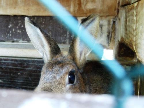 Hello, French bunny