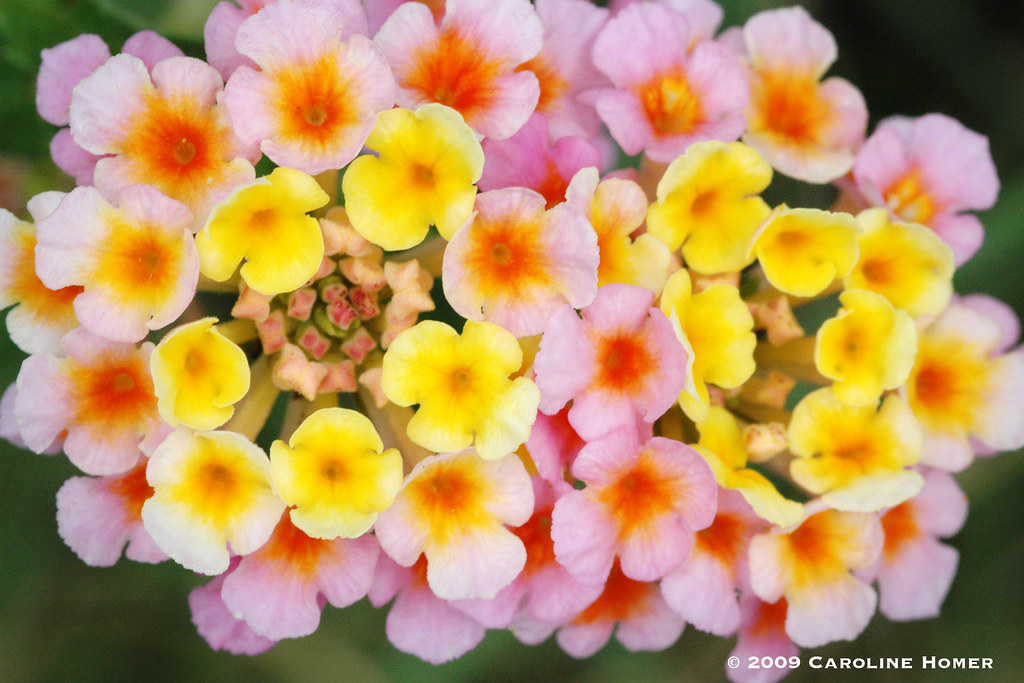 Old-fashioned lantana