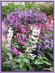 Plectranthus cultivars - in white, magenta and lavender ('Mona Lavender')