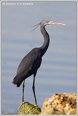 Western Reef Heron -   (Ahmed K) Tags: sea bird heron nature birds canon 400 western reef  egretta   50d gularis