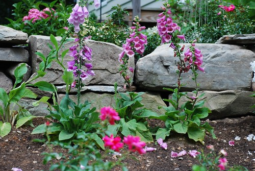 Terrace Garden Foxgloves