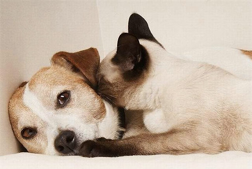 cute siamese kitten kisses dog cat pic