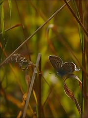 Azur des coronilles ... (Journ'obs...) Tags: ardennes papillon t insecte insectes faune panasoniclumixdmcfz18 boisdami azurdescoronilles