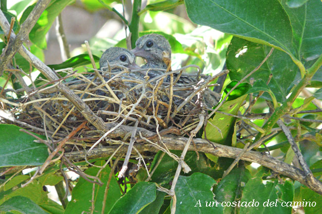 Pichones en el nido