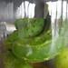 russian cucumbers