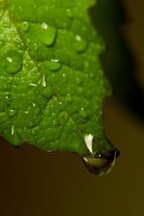 A leaf and a drop ... (Maarten Takens) Tags: vacation sun macro reflection green water beautiful canon wonderful landscape deutschland leaf europe scene drop shade stunning lightning waterdrops schaduw duitsland landschap waterdruppels niederrhein greatphoto greatview emmerich prachtig supershot 40d kreiskleve eos40d canoneos40d aangestraald dropinadrop