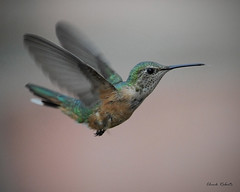 Broad-tailed hummingbird female (colorob) Tags: birds colorado littleton broadtailedhummingbird selasphorusplatycercus coloradowildlife d700 colorob