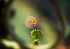 Flower In The City (michaeljosh) Tags: flower window circle bokeh explore orangeflower frontpage cityflower project365 goutplant jatrophapodagrica plantbox nikkor55200mmf456g nikond90 buddhabellyplant circleframe michaeljosh