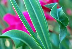 Laurier. (Suzanne Bouron) Tags: pink flower verde green planta fleur rose plante nikon colorful rosa vert folha laurier laurel feuille color loureiro d40 loireiro