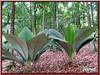 Johannesteijsmannia magnifica, a rare forest understorey palm)