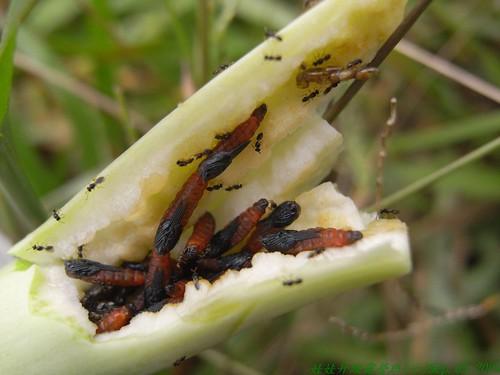 你拍攝的 46成熟的蟲癭。