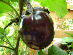 Rosa Bianco Eggplant (boisebluebird) Tags: plants vegetables garden gardening eggplant boise rosabianco michaeltoolson boisebluebirdcom httpwwwboisebluebirdcom boiselandscaping boisegardener