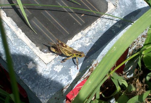 Grasshoper_91309