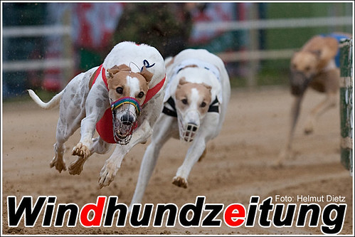 Greyhounds Fenomen Co Co & Orson vom Monarchenhügel