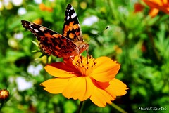 flower and butterfly (mkurtel) Tags: plant flower macro nature animals closeup turkey butterfly nikon d60 nikond60 altnoluk