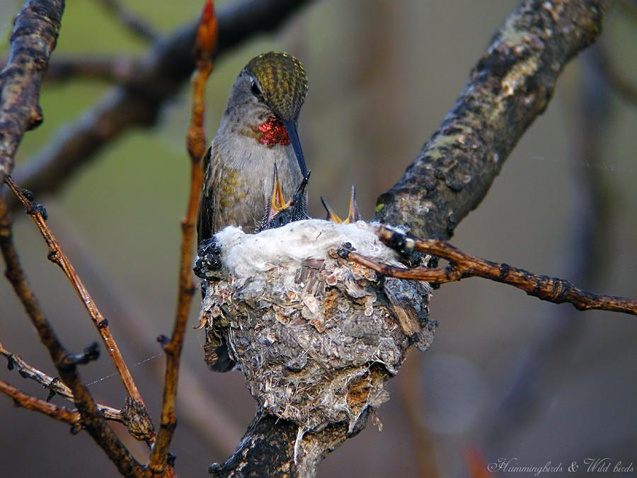 Anna's Hummingbird nest baby f02091-90