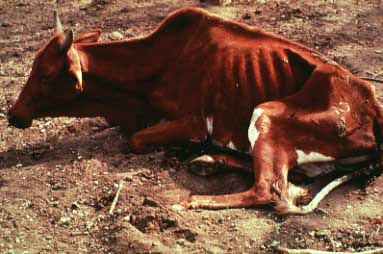 Cow suffering from trypanosomosis