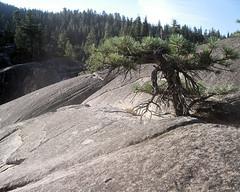 110 Bonsai Tree With Glacial Polish (saschmitz_earthlink_net) Tags: california tree rock granite bonsai sierranevada 2009 sierranationalforest glacialpolish upperkingscampground