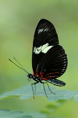 Butterfly - Amsterdam (IvoMathieuGaston) Tags: red white black color colour macro green colors amsterdam butterfly zoo leaf nikon colours d70s leafs artis artiszoo naturegroup heartawardsgroup butterflycolorgroup amsterdammokumgroup flickrstarsgroup highqualityimagesgroup wonderfulworldofanimalsgroup amazingmacrosgroup wonderfulworldofmacrogroup butterfliesgroup worldofanimalsgroup nikonflickrawardgroup smallcreaturesgroup artofimagesgroup fotosconestilogroup exquisiteworldofnaturegroup sensationalcreationsgroup beautifulshotgroup enarmoniaconlanaturalezagroup macroworldgroup greatbutterflycollectiongroup colorsofthesoulgroup butterflybeautygroup elshowdelmacrogroup butterflygallerygroup universeofnaturegroup mosfotogartengroup butterflybutterflybutterflygroup artisticandhighqualityshotsgroup naturaevitagroup