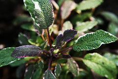 Tricolor sage (QuinnDombrowski) Tags: green purple herbs sage tricolorsage