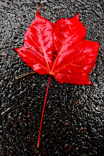 Red leaf on tar