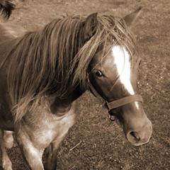 Pony (minminatmidnight) Tags: horses blackandwhite horse white black nature animals sepia tiere weide natur meadow wiese pony ponies animaux range pferde pferd schwarz animali paddock koppel weis schwarzweis fujifilmfinepixs100fs