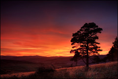 Scots Pine - Birnam Hill (angus clyne) Tags: sunset tree pine forest scotland perthshire hills perth dunkeld birnam a9 flikcr schiehallion longgrass scotspine kingsseat colorphotoaward vosplusbellesphotos