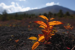 An active volcano and a plant (Spice  Trying to Catch Up!) Tags: blue trees sky orange brown mountain plant color macro green art nature leaves yellow japan clouds canon geotagged asian photography eos lights photo leaf interesting asia flickr image photos bokeh picture vivid blogger livejournal explore soil photograph  portfolio vox       ohhh gettyimages facebook  friendster multiply     naganoken   twitter canoneos5dmarkii    2009