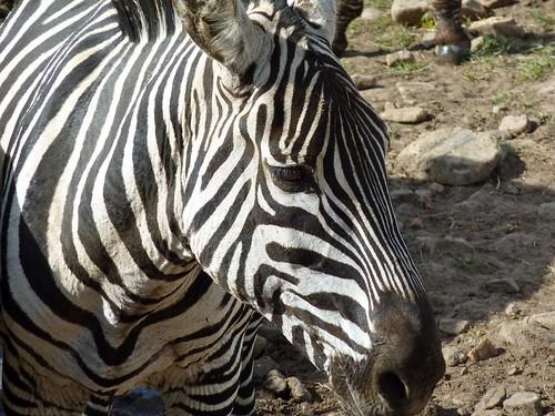 Zebra, Maasai Mara, Kenya