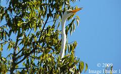 They'll Never See Me Here! (Image Hunter 1) Tags: nature birds louisiana bayou swamp greategret lakemartin panasonicfz35 raynox2025hd22x