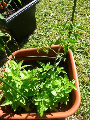 New Tomatos