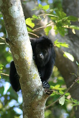 Howler Monkey (davecurry8) Tags: yaxchilan howlermonkey usumacintariver