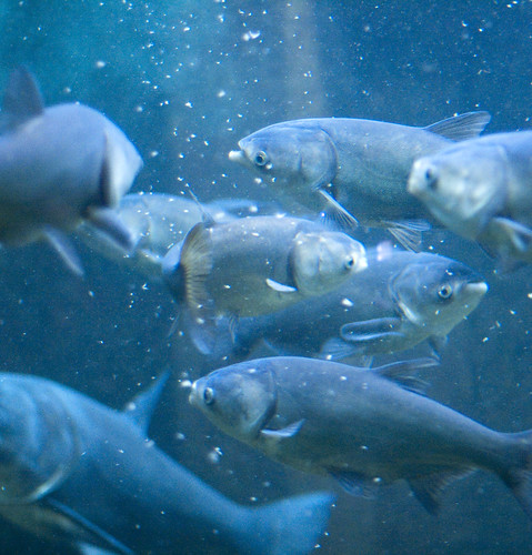 Asian carp at Shedd Aquarium