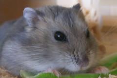 Hamster 003