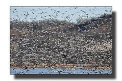 Do You See The Trees (Hold still) Tags: trees flickr wetlands birdsinflight canadagoose photoshopelements squawcreek snowgoose nikond90 wintermigration adobephotoshopelements6 moundcitymissouri