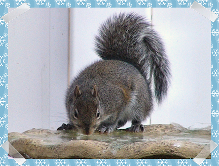 Squirrel drinking water - hurry it's almost completely frozen!