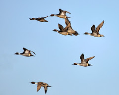 Pintails in flight (champbass2) Tags: nature birds northerncalifornia fly wings wildlife birding flight ducks niko migration waterfowl d90 sprigs pacificflyway calfiornia pintails northernpintails mywinners champbass2 llanoseco sigma150500