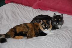 Kayla & Dusty (Philosopher Queen) Tags: cats cute dusty cat chat sweet pair fluffy gato calico kitties kayla blacksmoke kissablekat