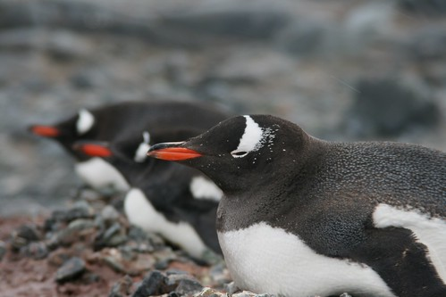 Gentoo penguins in a row on their nests by christmas star