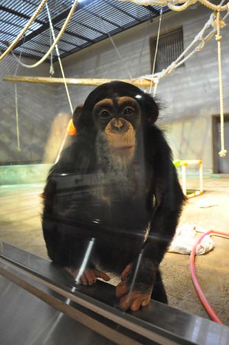 チンパンジーのいちご