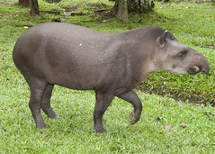Tapirus terrestris (wquatman) Tags: mammal amazon colombia tapir braziliantapir tapirusterrestris rainforestanimal