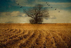 Alone but not lonely (LastBestPlace) Tags: wisconsin cornfield oaktree legacy soe sandhillcrane coth theworldwelivein waukeshacounty idream bej platinumphoto anawesomeshot goldstaraward portalwisconsinorgselected ubej panoramafotogrfico goldenart yourwonderland janekaufman magicunicornverybest coth5 magicunicornmasterpiece esenciadelanaturaleza portalwisconsinorg040810